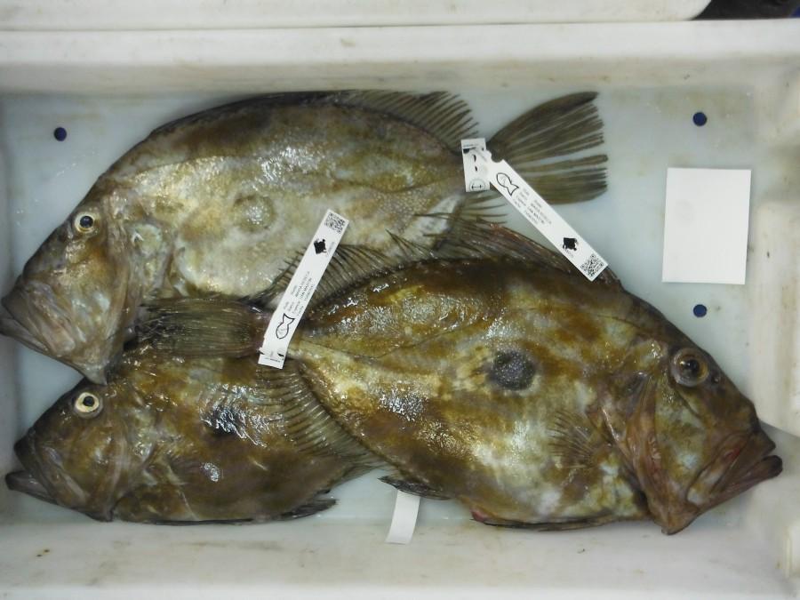 San Martín pescado de rula Bustio