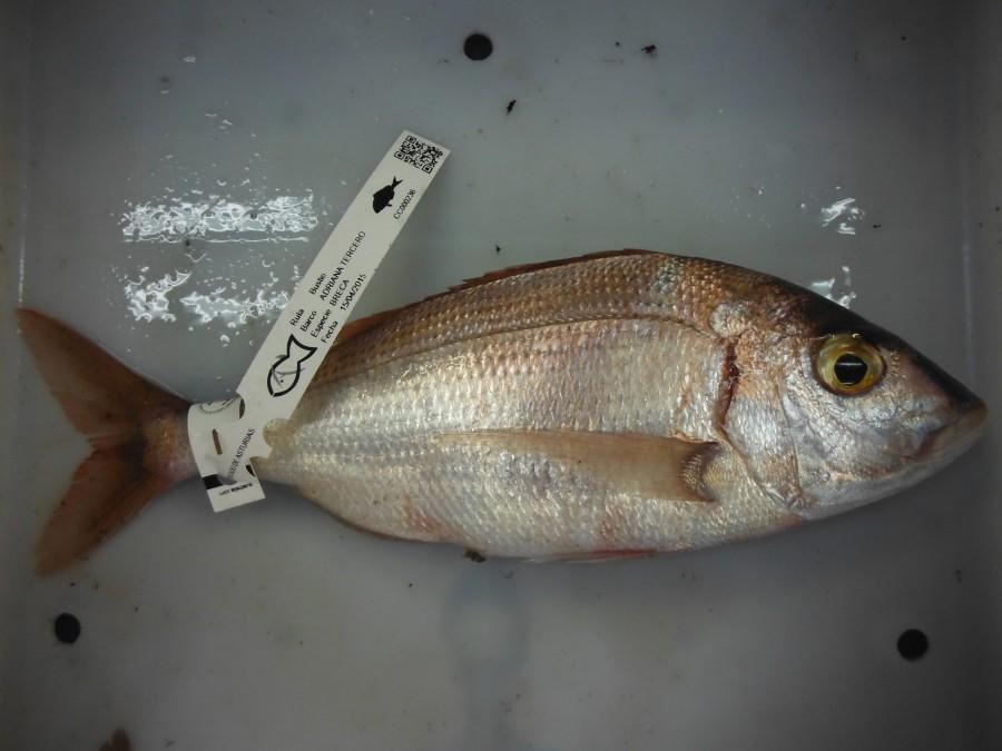 breca pescado de rula Bustio