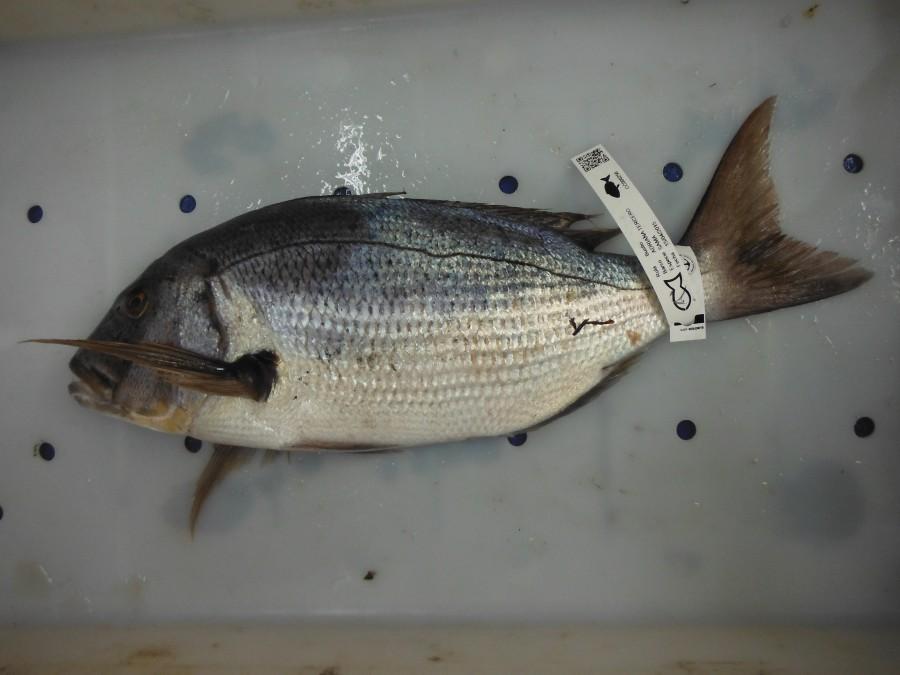 sargo pescado de rula Bustio